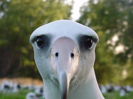Avatar-albatross-l-stare.jpg