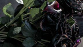 Black Halfeti roses in rain