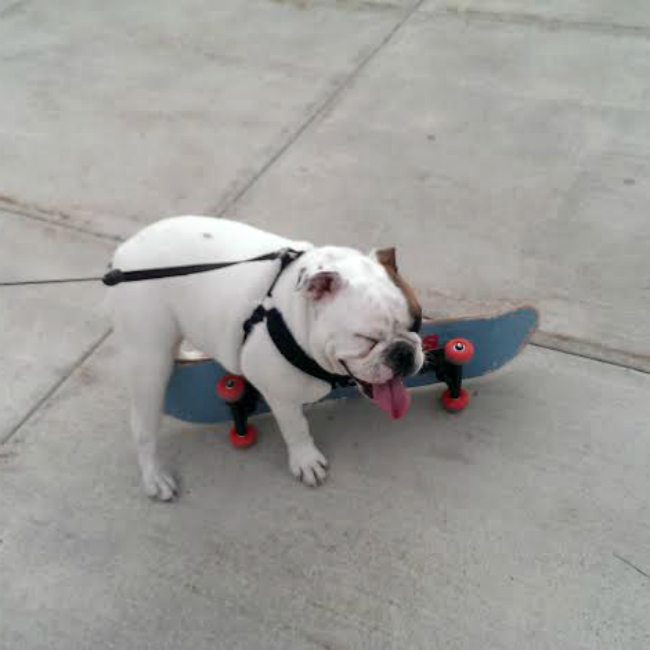 Stig the skateboarding bulldog crash