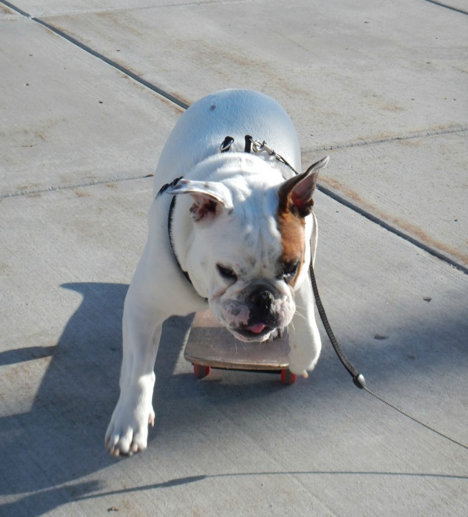 Stig the skateboarding bulldog