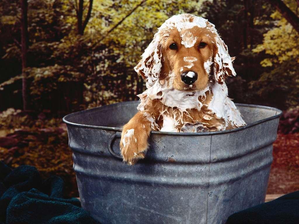 bathing the dog