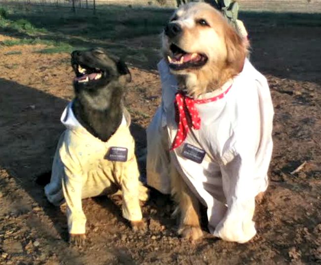 Dogs dressed as senior missionary couple