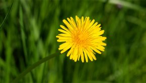 A single dandelion in the grass
