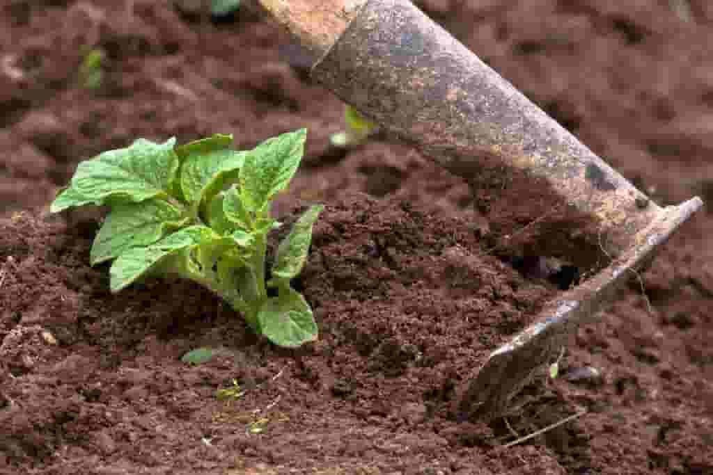 Potato plant and hoe
