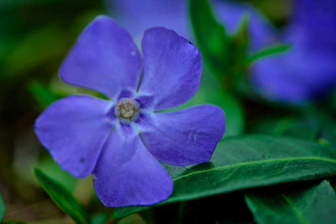 Picture of a purple flower