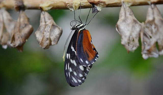 butterfly just bursting from cocoon