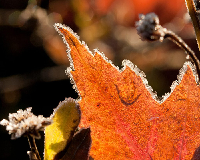 leaf covered by frost