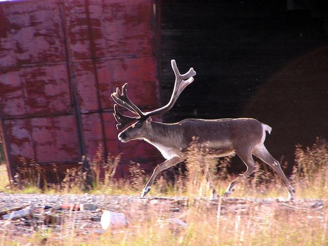 Photo of reindeer