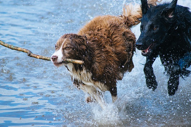 two dogs running through the water with a stick