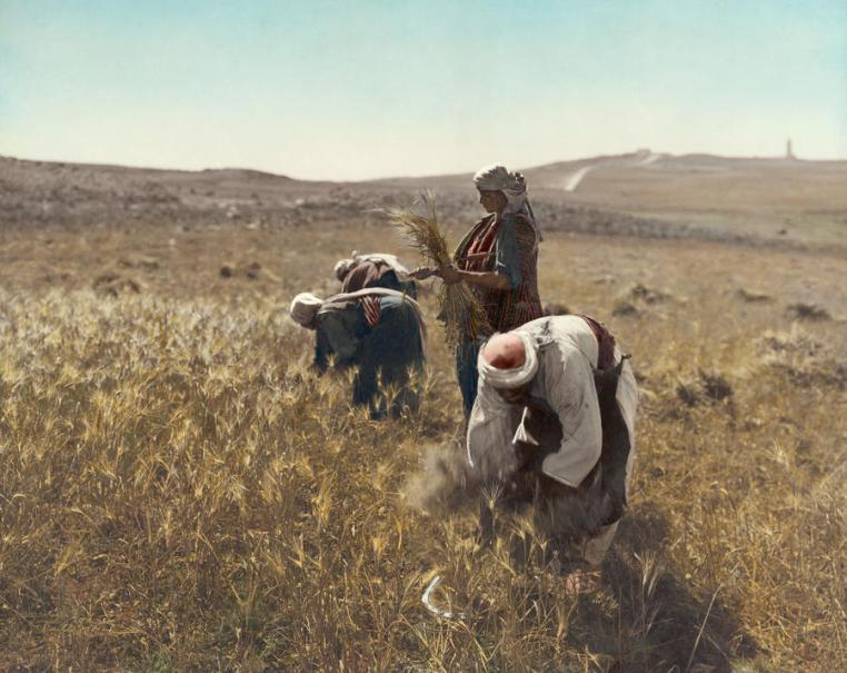 Harvesting barley in Israel
