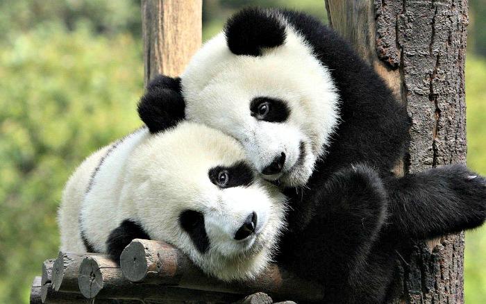 Pandas Hugging and Smiling