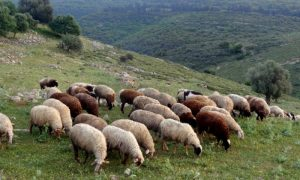 sheep grazing Israel