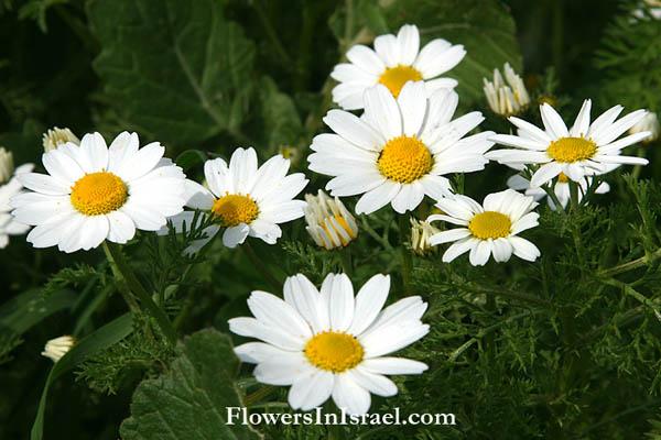 white Israelian lilies_tender mercies