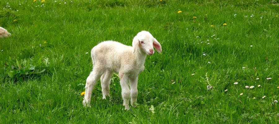 A small lamb
