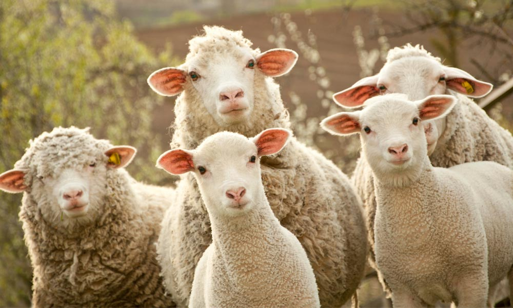 attentive sheep