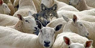 wolf among sheep