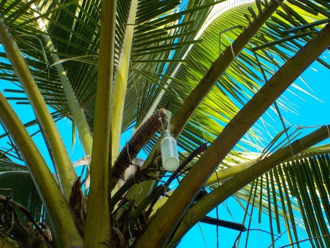 coconut toddy