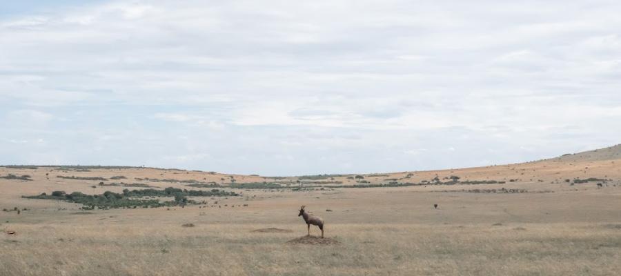 Topi in Africa