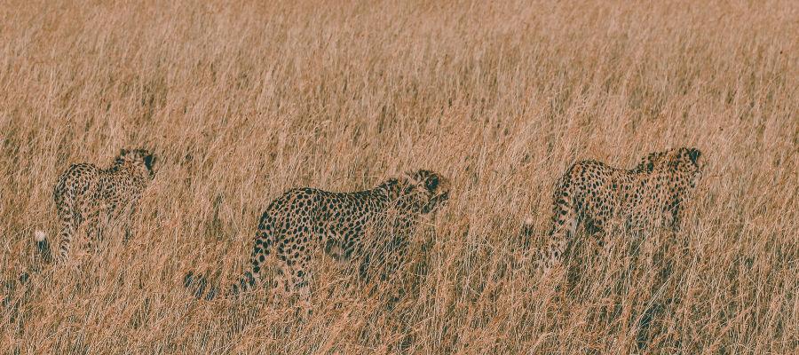 3 cheetahs hunting