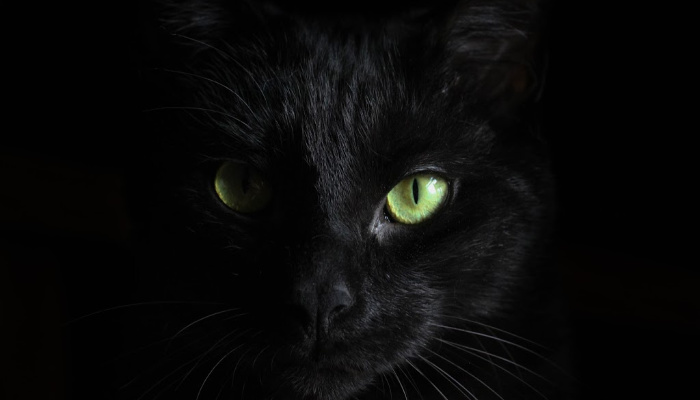 closeup of a black cat