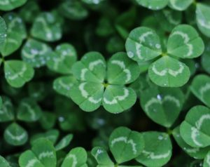 Superstition about Four Leaf Clover