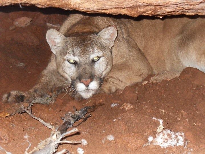 utah mountain lion