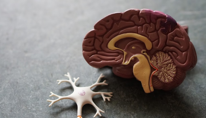 a toy diagram of a human brain