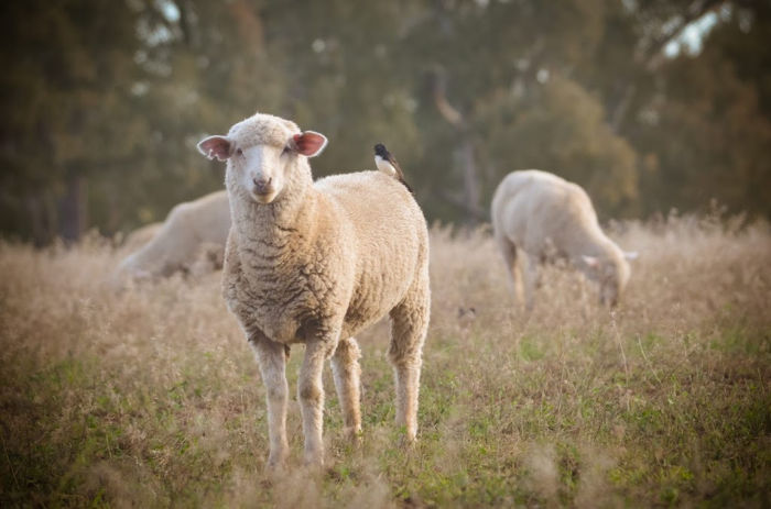 Sheep by Sally Pittman